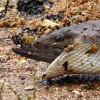 Australia: un serpente mangia un coccodrillo intero (1)