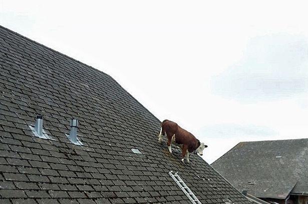 Mucca sale sul tetto