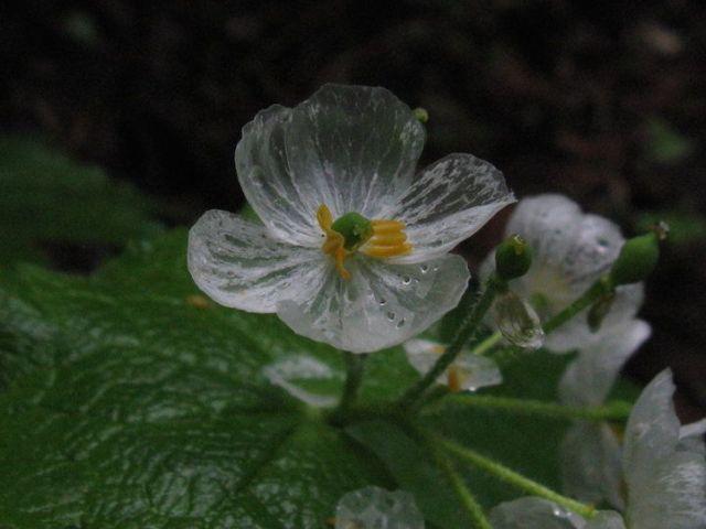 Diphylleia grayi, il fiore i cui petali diventano trasparenti quando piove