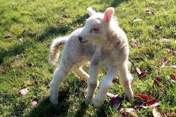 Nato un agnellino con cinque zampe in Galles