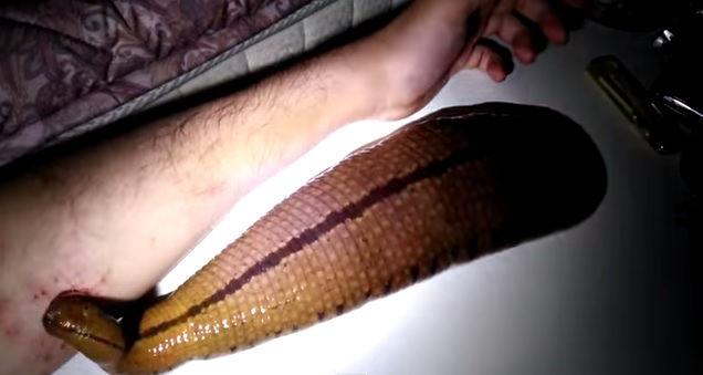 Tiene in casa una sanguisuga gigante e lascia che si nutra dal suo braccio