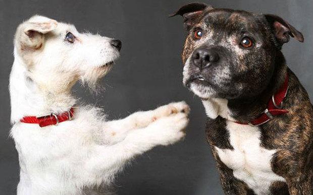 Glenn e Buzz cani inseparabili: uno è cieco, l'altro gli fa da cane guida