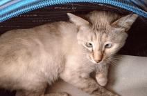 gatto strabico4