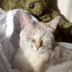 gatto strabico5