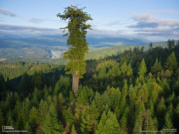 Hyperion-albero-piu-alto-del-mondo-