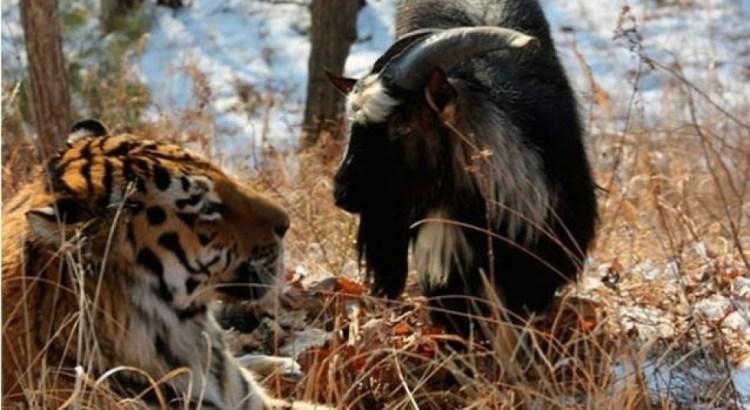 Offerta capra viva a una tigre; diventano amici inseparabili