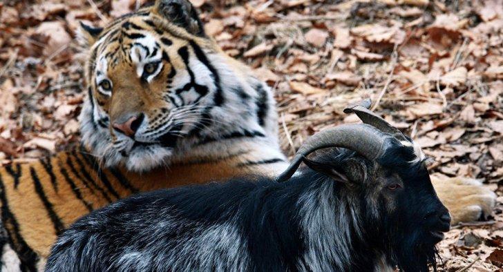 amur-timur-tigre-capra