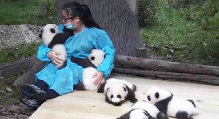 In Cina coccolare i panda è un vero e proprio lavoro