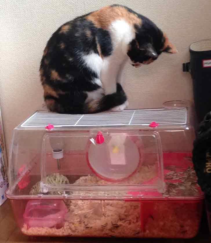 Gatto giapponese invidioso del criceto usa la lavatrice for Criceto morto
