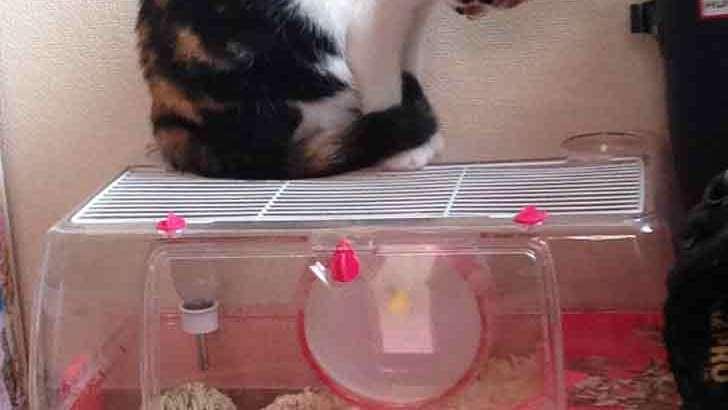 Gatto giapponese invidioso del criceto usa la lavatrice come ruota