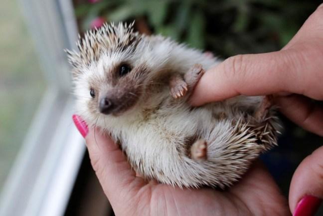 Dopo i Cat Cafe, a Tokyo apre il primo Hedgehog Cafe con i ricci