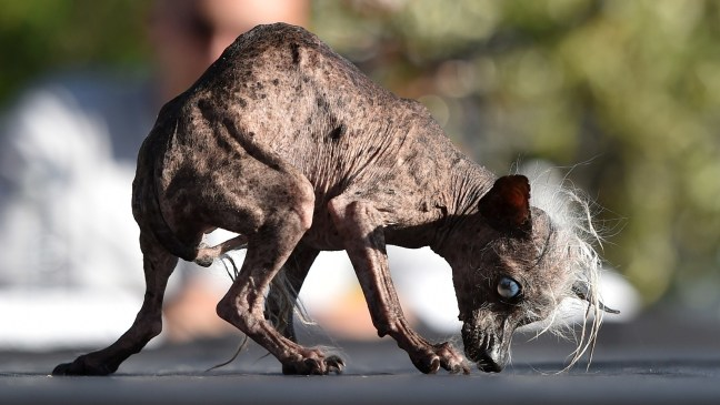 SweePee Rambo, il cane più brutto del mondo del 2016