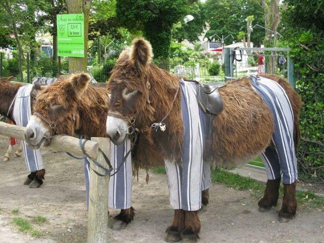 Nell'isola francese di Ré gli asini indossano i pantaloni