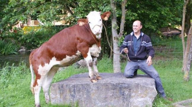 birra-mucche