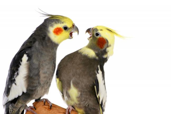 uomo-litiga-con-pappagallo