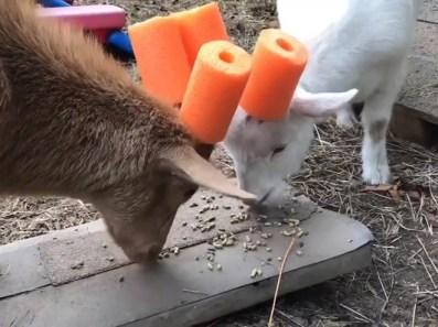 capre-maleducate-14