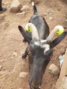 capre-maleducate-15