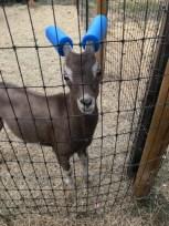capre-maleducate-3