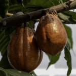 How To Start A Cocoa Export Business In Kenya And Make Money