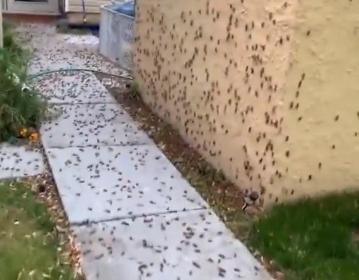 cikády usa