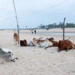 krávy pláž