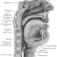 Chimpanzee Skull Diagram Trailer Electrical Plug Wiring Mouth - Academic Kids