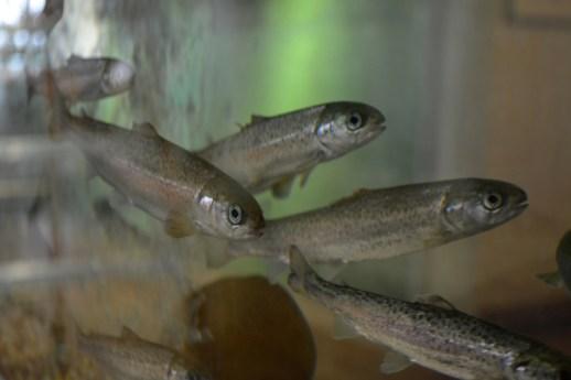 Le CERR a déjà quelques locataires: des saumons, des esturgeons, un homard, une étoile de mer, et quelques autres espèces de la baie des Chaleurs. - Acadie Nouvelle: Jean-François Boisvert