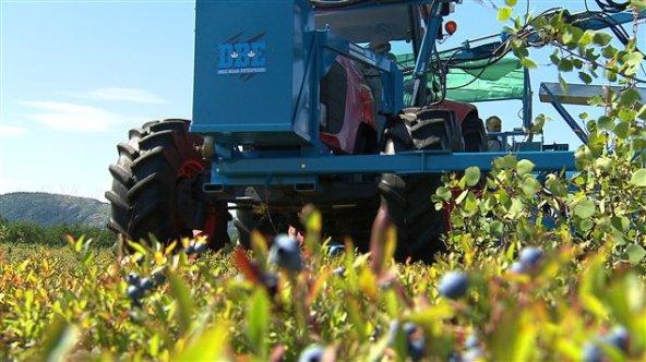 Les producteurs de bleuets sont incités à tolérer la présence du courlis corlieu dans leurs champs. - Gracieuseté