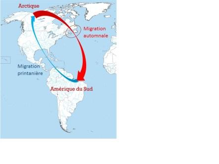 Le courlis corlieu est un oiseau migrateur qui séjourne au Brésil pendant la saison froide et dans l'extrême Nord canadien durant la saison chaude. - Gracieuseté