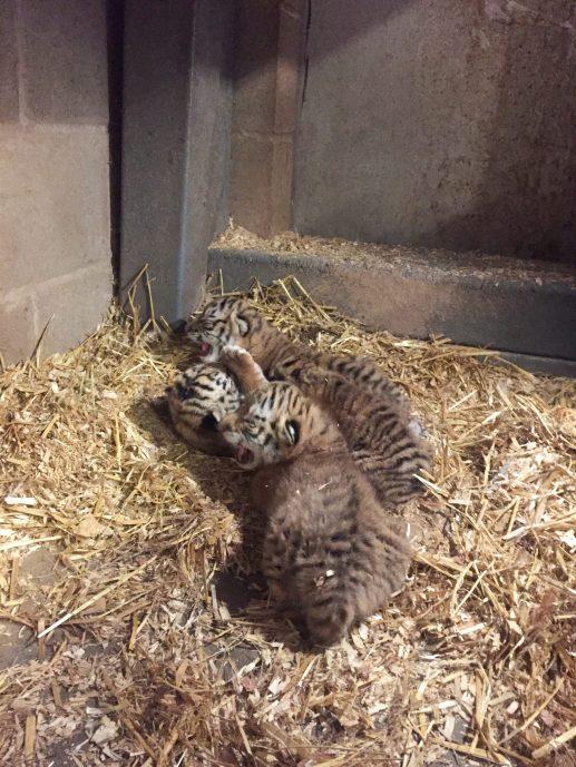 Quatre tigreaux sont nés au Zoo de Magnetic Hill à Moncton la semaine dernière. - Gracieuseté