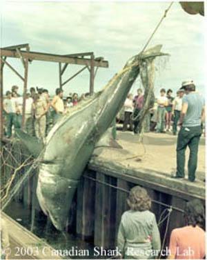 Un grand requin blanc mesurant 5 mètres a été capturé au large de l'Île-du-Prince-Édouard en 1983. - Gracieuseté