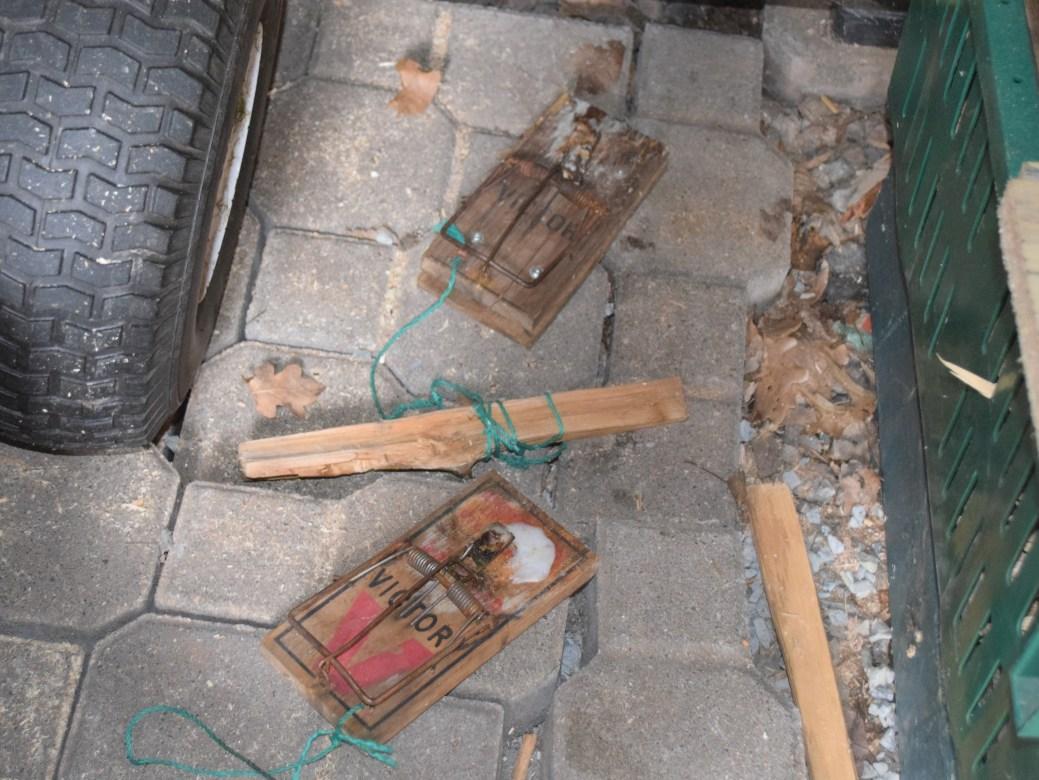 Certains habitants utilisent des pièges à rats pour combattre les nuisibles. - Acadie Nouvelle: Édouard Merlo
