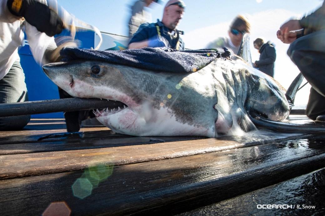Un groupe de chercheurs a marqué le requin Brunswick en Caroline du Sud le 26 février dernier. - Gracieuseté