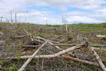 Par endroit, la forêt restigouchoise a des allures de champs de bataille. - Acadie Nouvelle: Simon Delattre