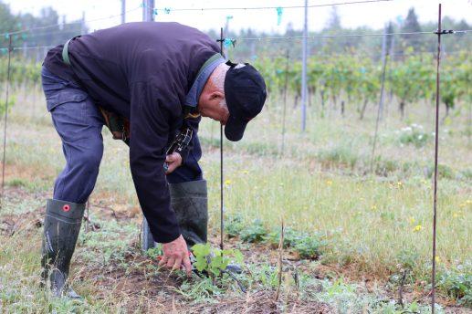 Le domaine de Richiboucto River compte 21 variétés de vignes, dont le Maréchal Foch, l'Acadie Blanc et le Marquette. - Acadie Nouvelle: Simon Delattre
