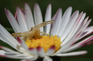 Araña sobre flor - Ramón López Heredia