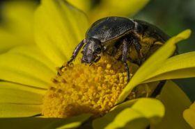 Escarabajo - Yasmin Yasmin