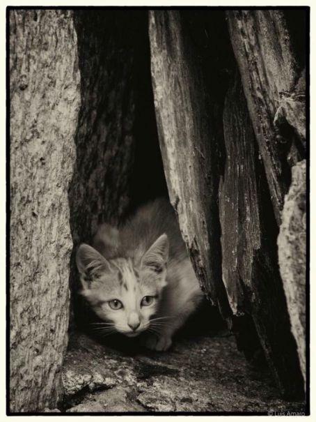 gato - Luis Amaro