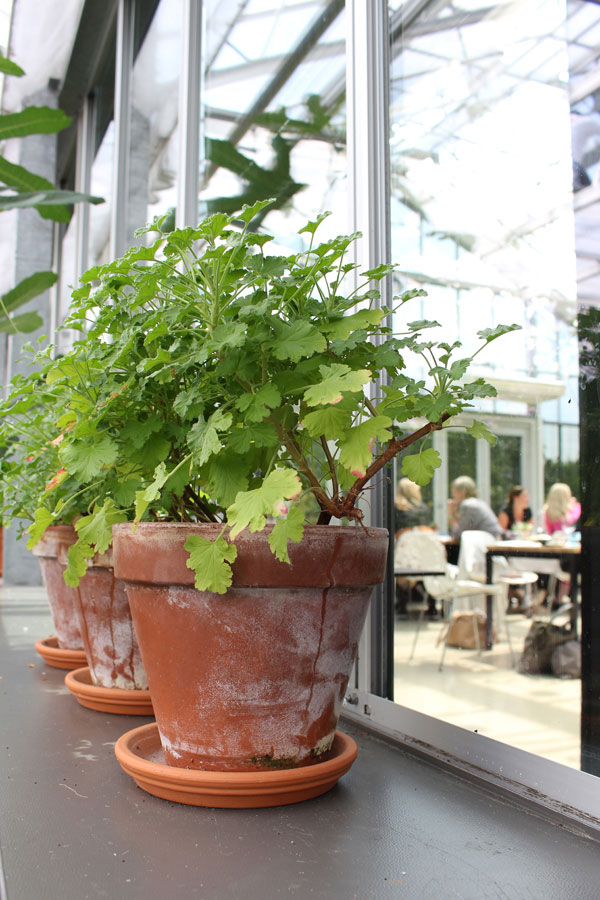 Prachtige geraniums in terracotta potten in restaurant de kas - via Accessorize your Home
