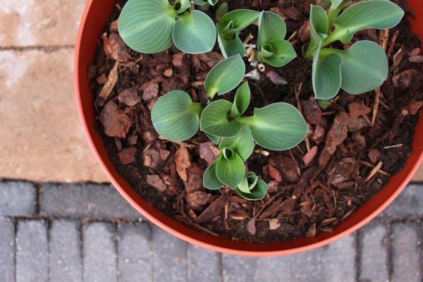 Greenville schaal met mouse ear hosta - via Accessorize your Home