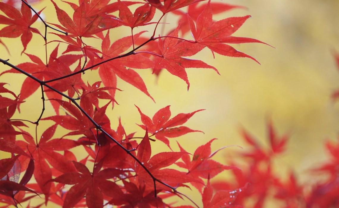 Foglie rosse autunno New York