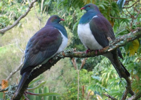 Wood Pigeon at Our Kerikeri Accommodation