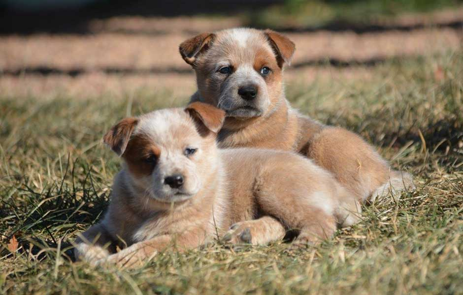 Australian Cattle Dog Club of America – Australian Cattle