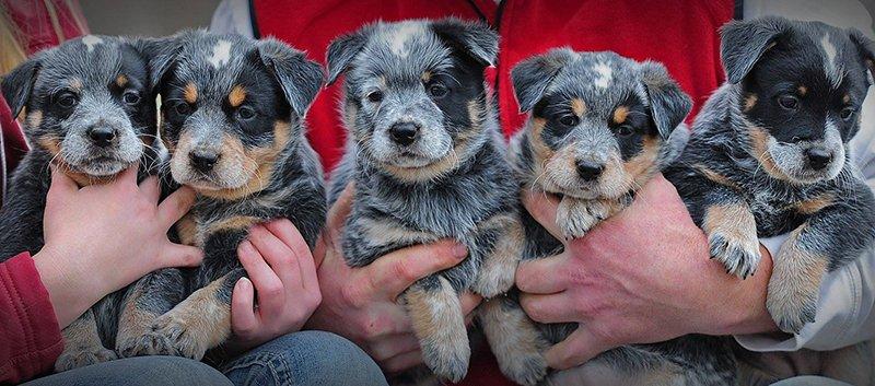 Mini Australian Shepherd Puppies Santa Barbara