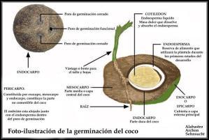 Capas del fruto del Coco