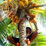 Como elegir un buen aceite de coco