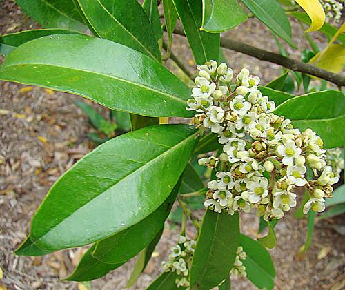 Detalle de las hojas y flores de Ilex paraguariensis (Créditos foto: Dick Culbert).