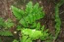fern identification course