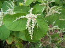 japanese knotweed course