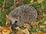 Hedgehog ecology